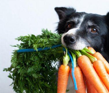 carota per il cane